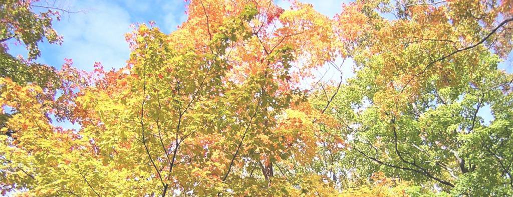 Maple characteristics