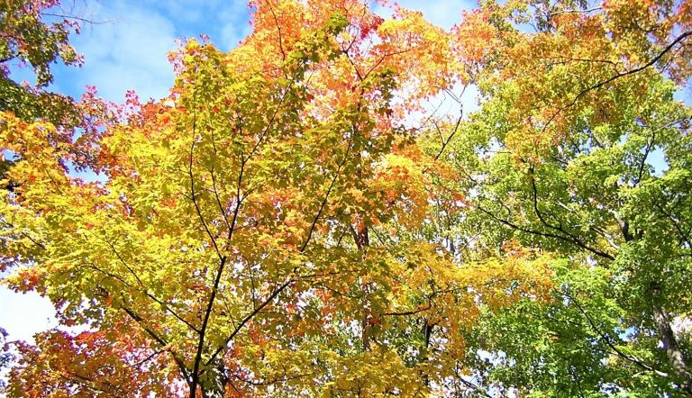Maple tree ACER L.: Characteristics